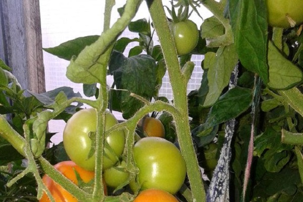 Томат красный уголь: характеристика и описание сорта, отзывы об урожайности, фото