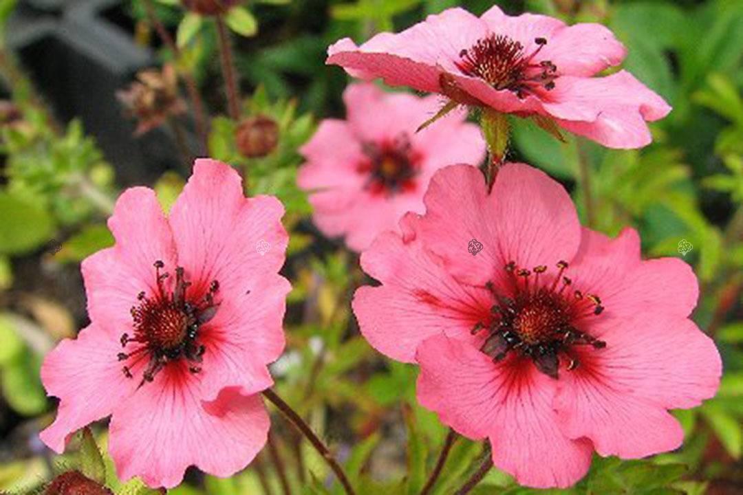 Лапчатка кустарниковая: выращивание для радости и уюта