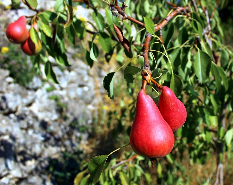 Груша просто мария: описание сорта, опылители