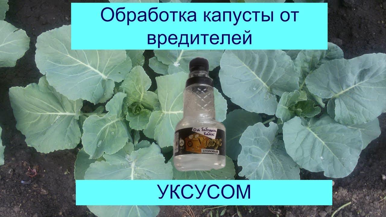 Как правильно обработать капусту содой от вредителей для эффективной защиты