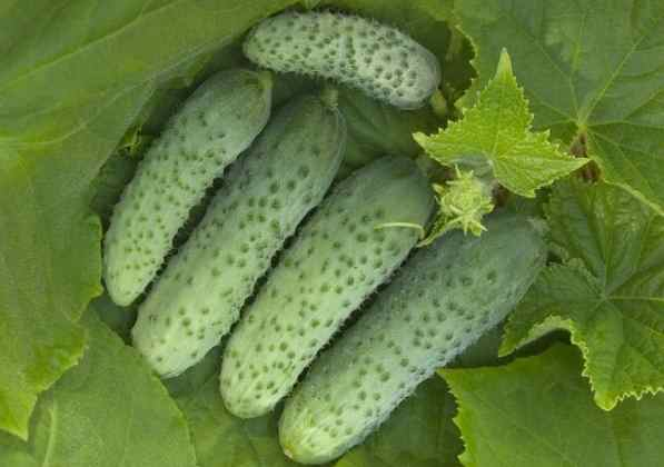 Огурцы кураж f1: описание и характеристика, особенности выращивания, отзывы огородников