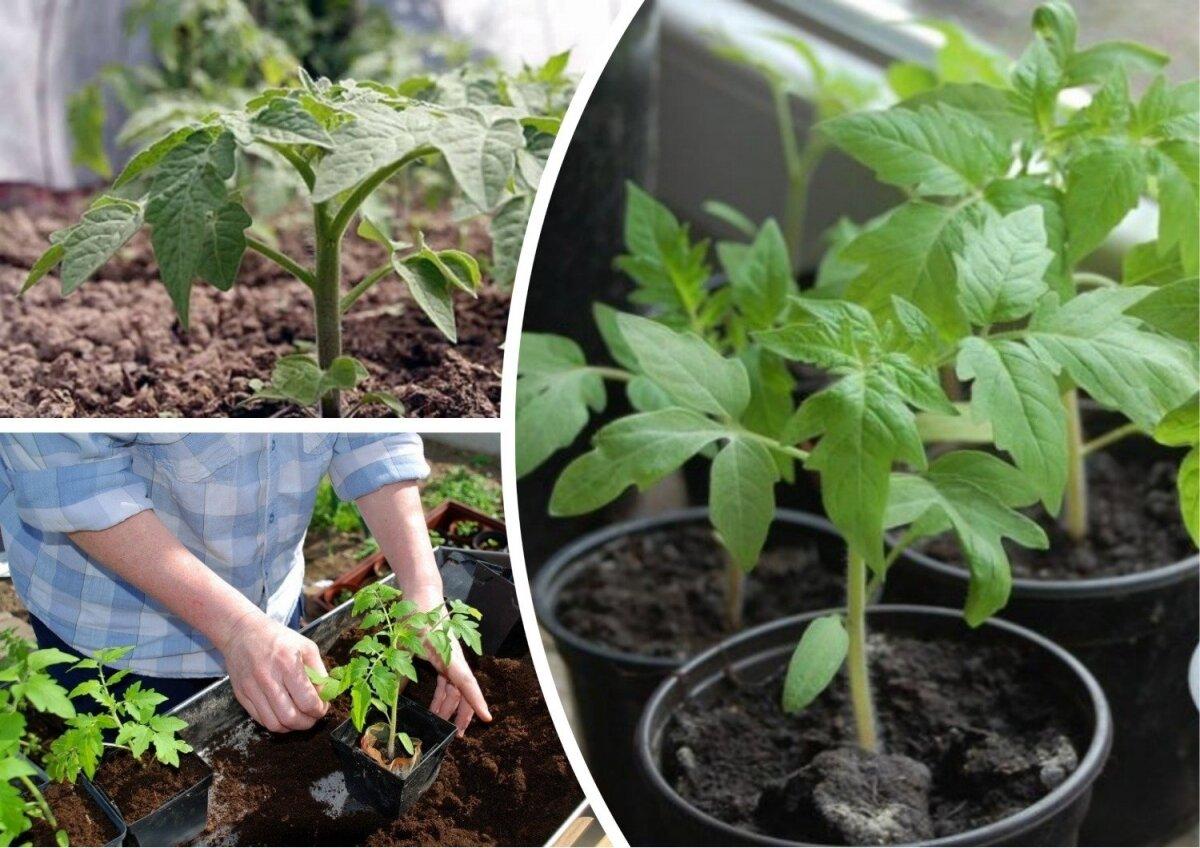 Когда лучше пересаживать рассаду помидор в горшки
