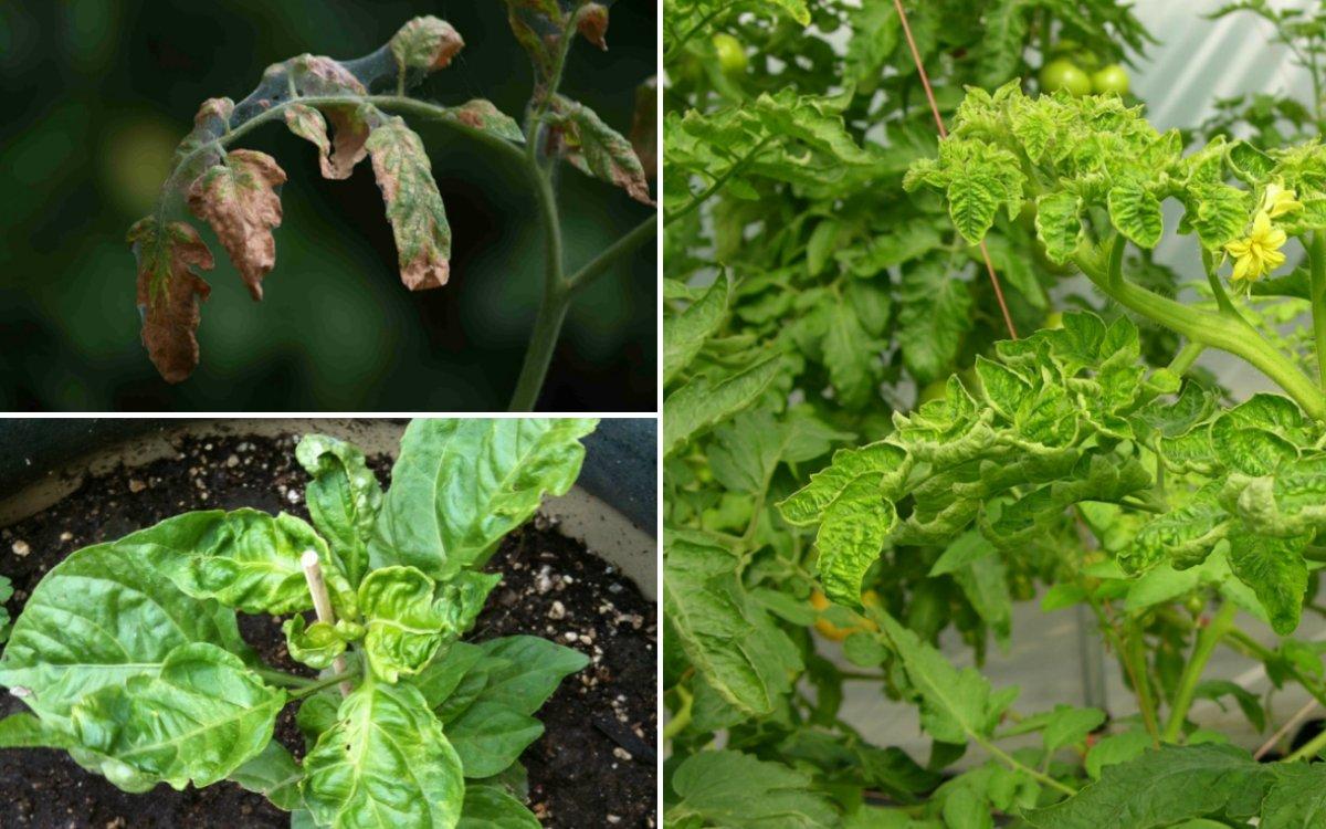 Почему скручиваются листья рассады? причины и методы борьбы — ботаничка.ru