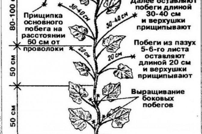 Выясняем, как выращивать дыни в теплице: 9 правил