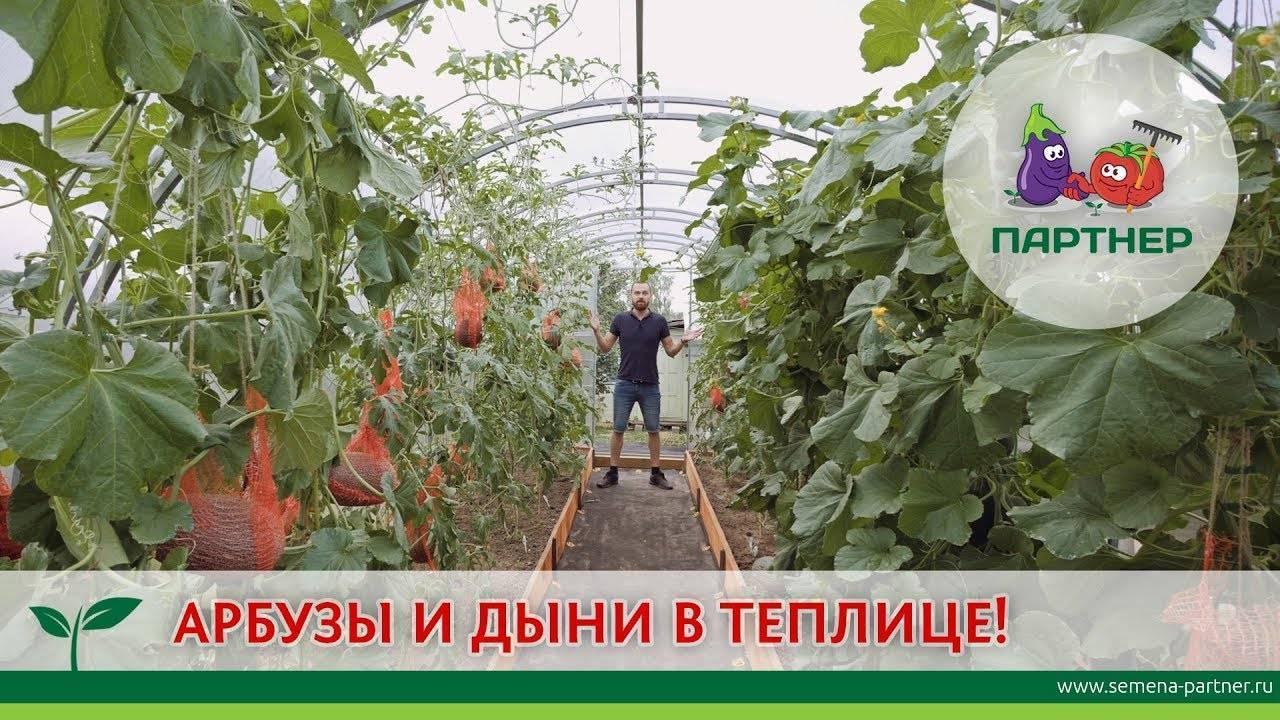 Посадка дыни в теплице: подготовка почвы и условия выращивания