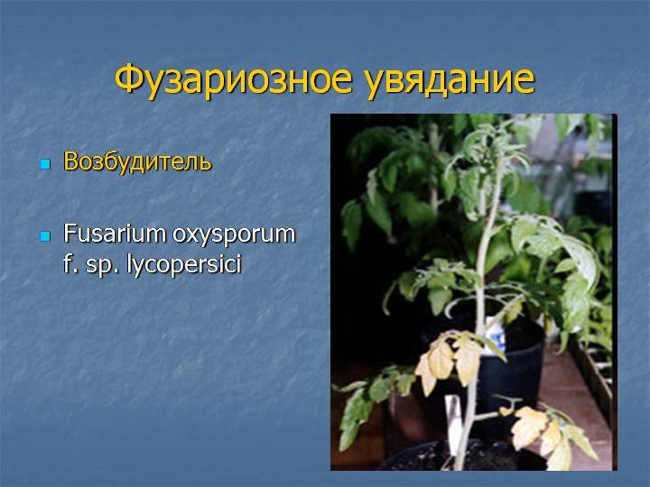 Фузариозное увядание рассады томатов: лечение, обработка, опрыскивание