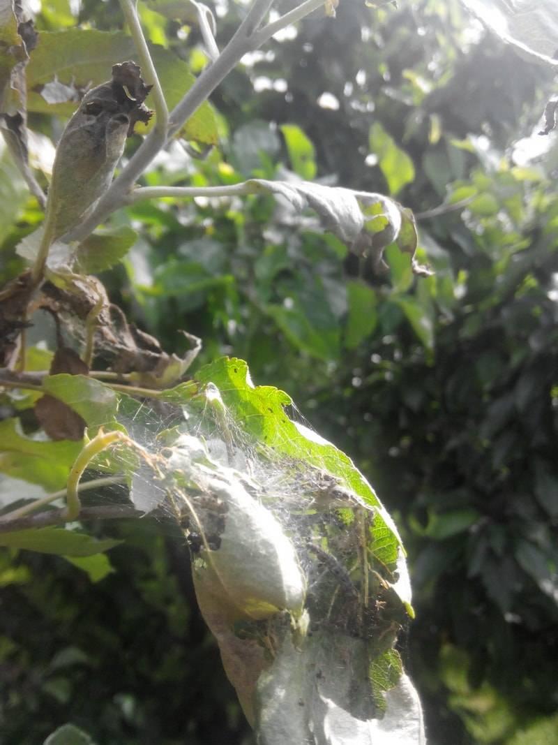 Паутинный клещ на яблоне, меры борьбы с ним: практическое руководство по борьбе с невидимым врагом!