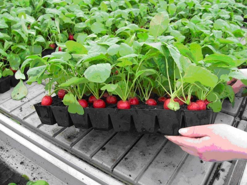 Как сеять салат: выращивание культуры