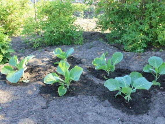 Подкормка капусты в открытом грунте народными средствами