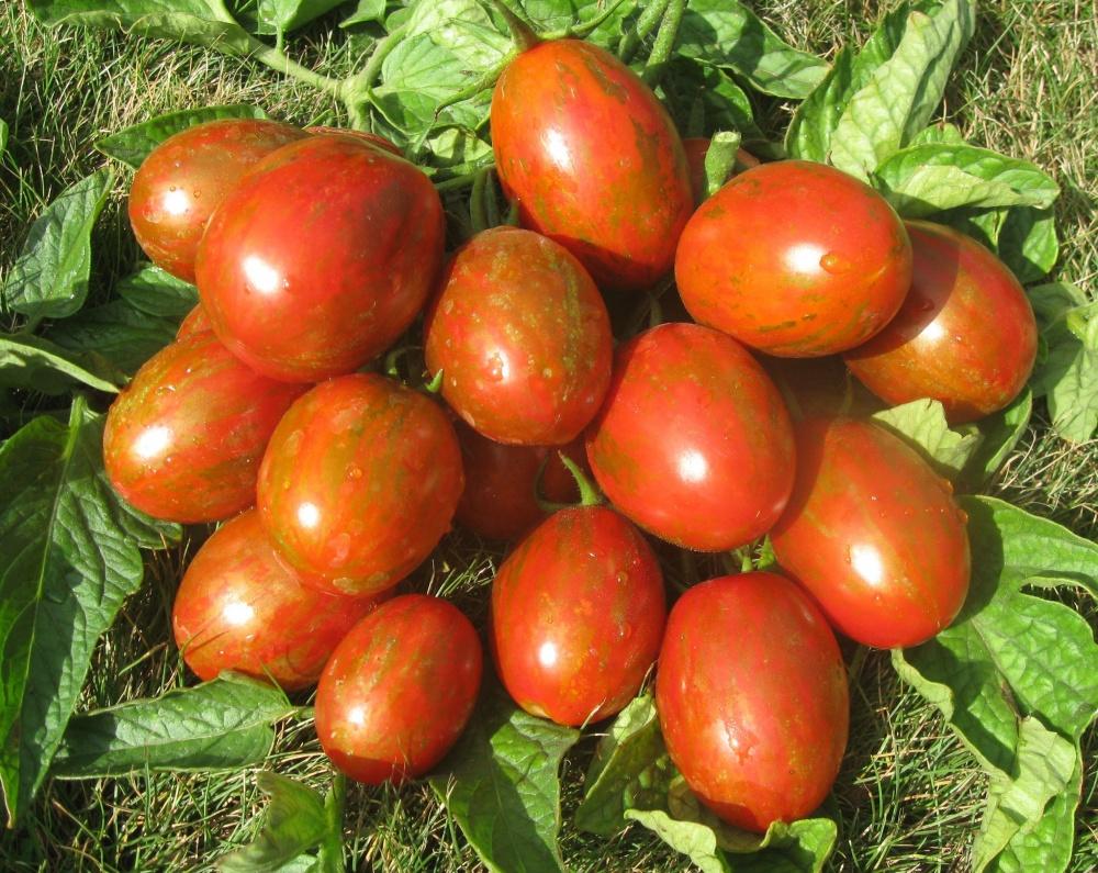 Томат суперэкзотик: описание сорта, отзывы, фото, урожайность | tomatland.ru