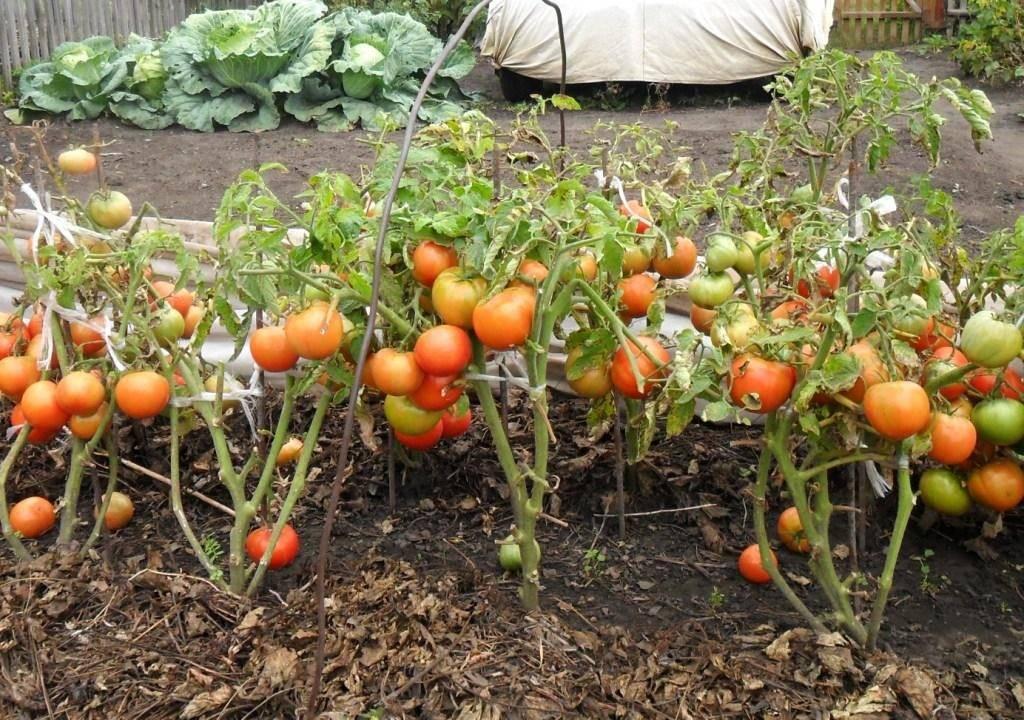 Выращивание помидоров от а до я: выбор сорта, подготовка рассады, методы посадки, уход