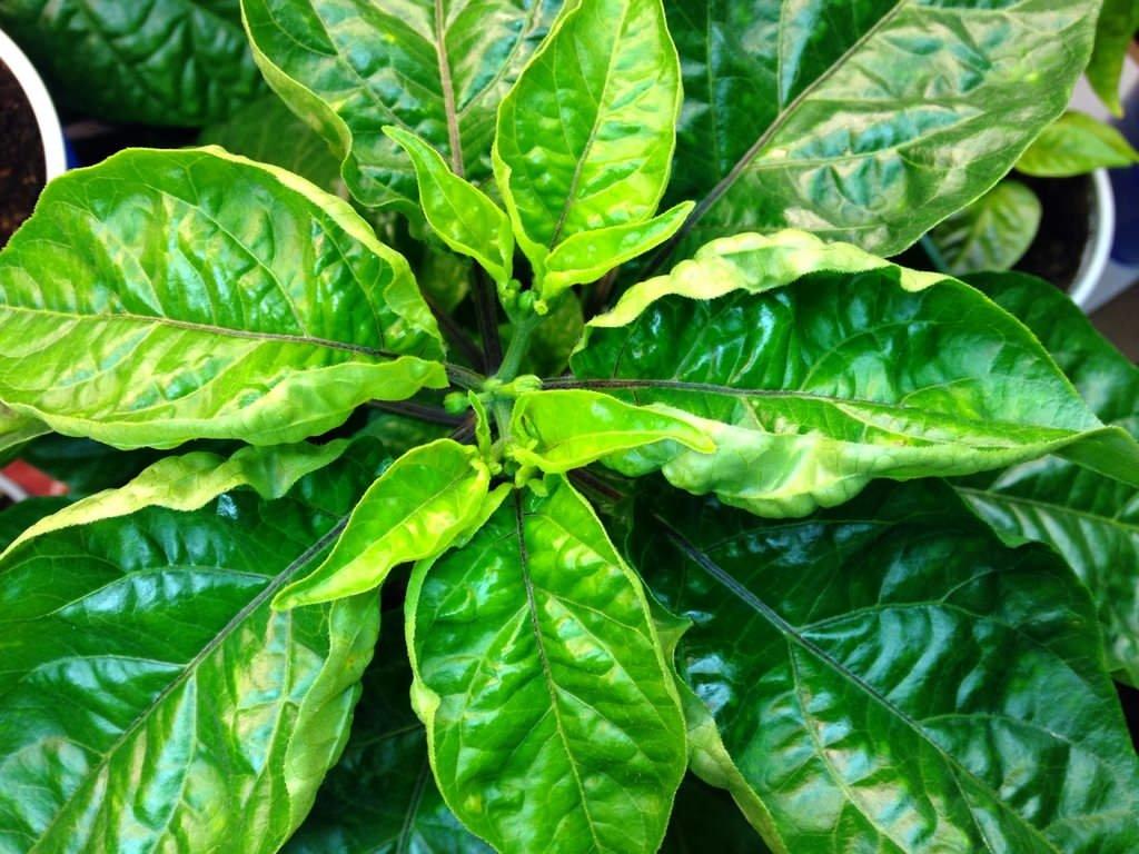 У перца скручиваются листья: причины, что делать, подкормка, фото