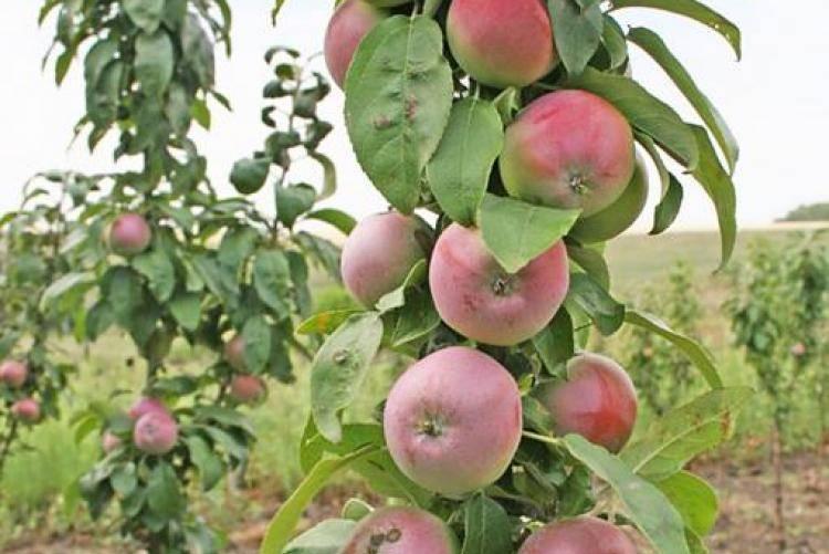 Колоновидная яблоня останкино — описание сорта, фото, отзывы
