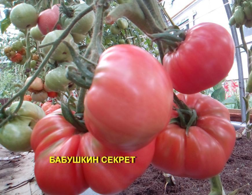 Томат «бабушкин секрет» его выращивание в теплице, отзывы о нем