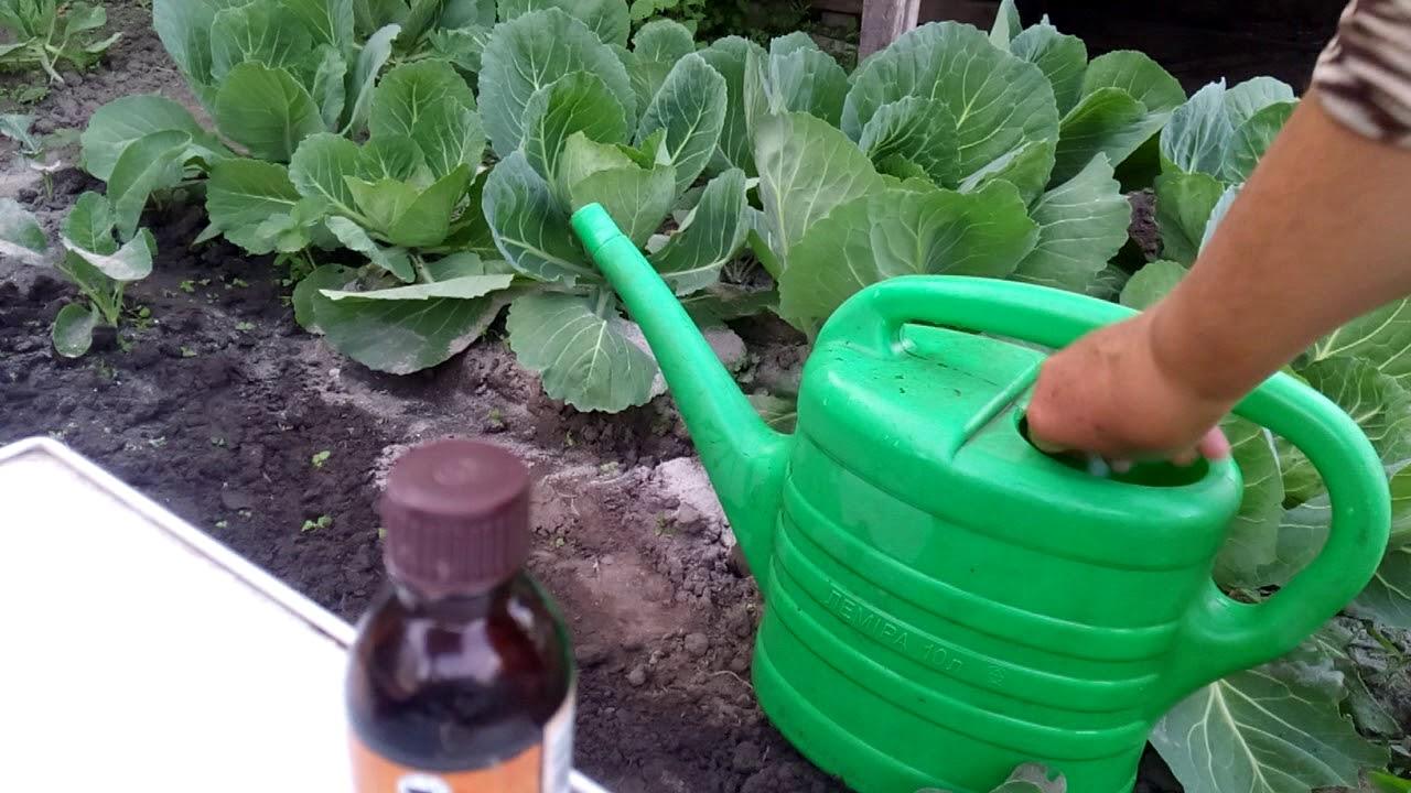 Как правильно поливать цветную капусту в открытом грунте, дома и в теплице: какая вода нужна, как совмещать с подкормкой и другие нюансы