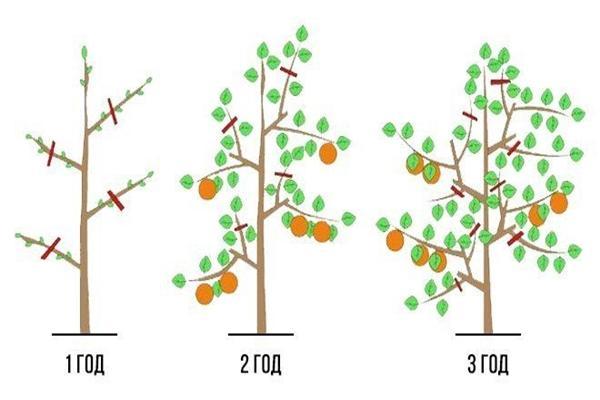 Яблоня аркад сахарный: описание, фото, отзывы
