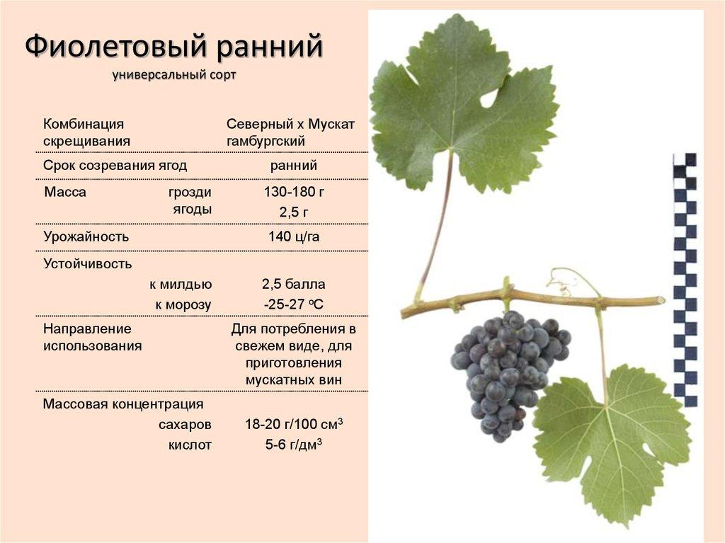 Правильный полив винограда: когда и как часто поливать летом, в том числе после посадки, способы полива