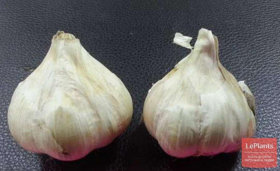 Чеснок - лучшие сорта ярового, озимого чеснока, крупноплодные, холодостойкие