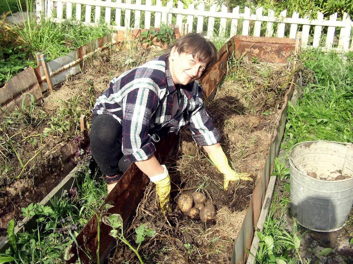 Выращивание ранней картошки под пленкой: как сажать картофель и как за ним ухаживать