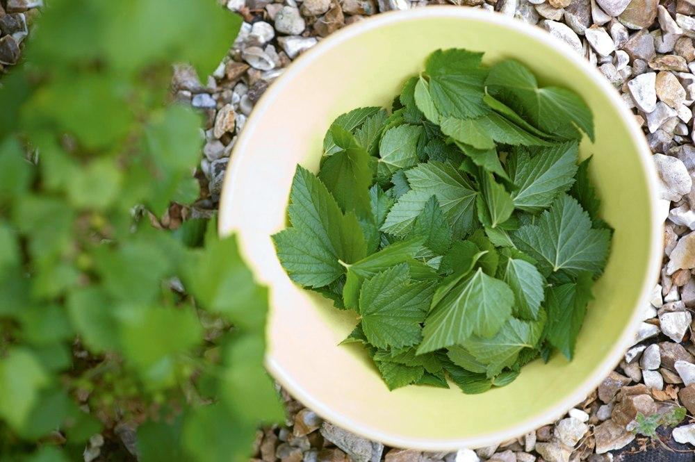Когда собирать листья малины и смородины для сушки на зиму: сроки, условия хранения