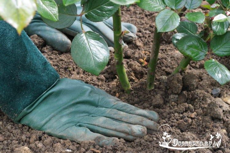 Про выращивание хрена в открытом грунте: от посадки до сбора урожая