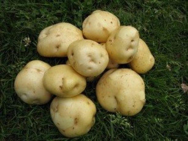 Картофель тимо: характеристика и описание сорта, фото, отзывы