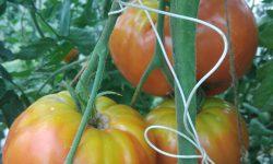 Томат сибирский гигант: описание и характеристика сорта, отзывы, фото, урожайность   tomatland.ru