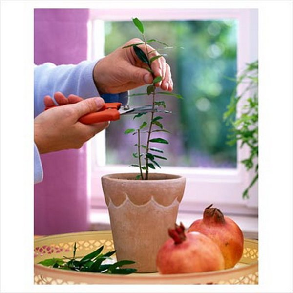 Выращивание комнатного граната из косточки   мир животных и растений