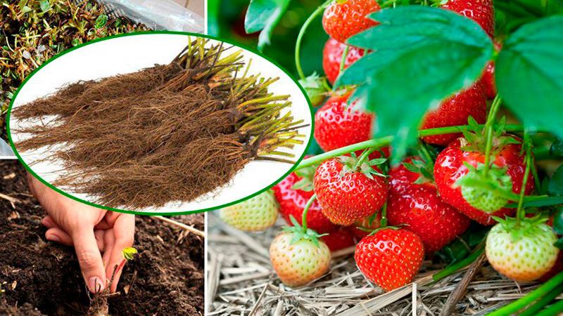 Как увеличить урожай клубники в десять раз?