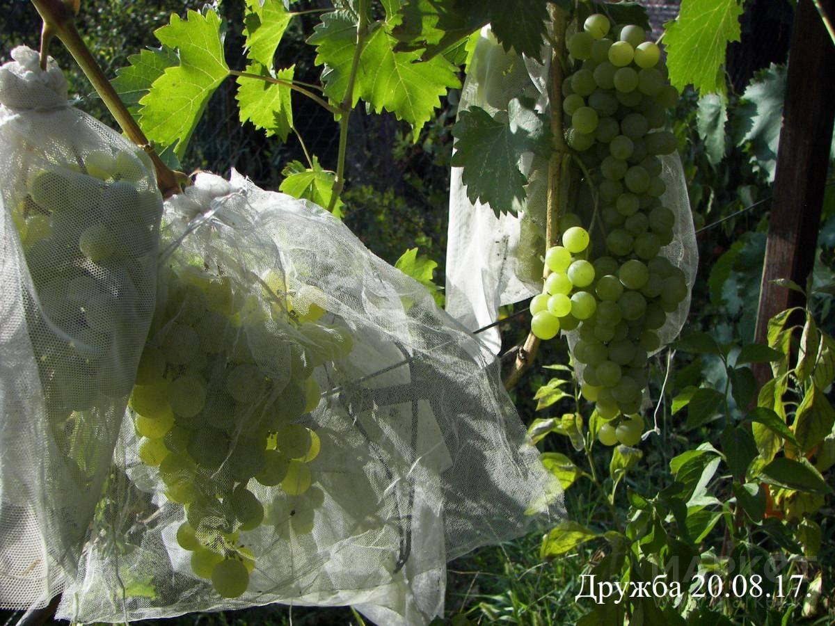 Как уберечь виноград от ос: лучшие средства и методы, видео и фото