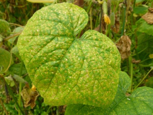 Чем вызвано преждевременное пожелтение листьев у огурцов? быстрые способы решения проблемы