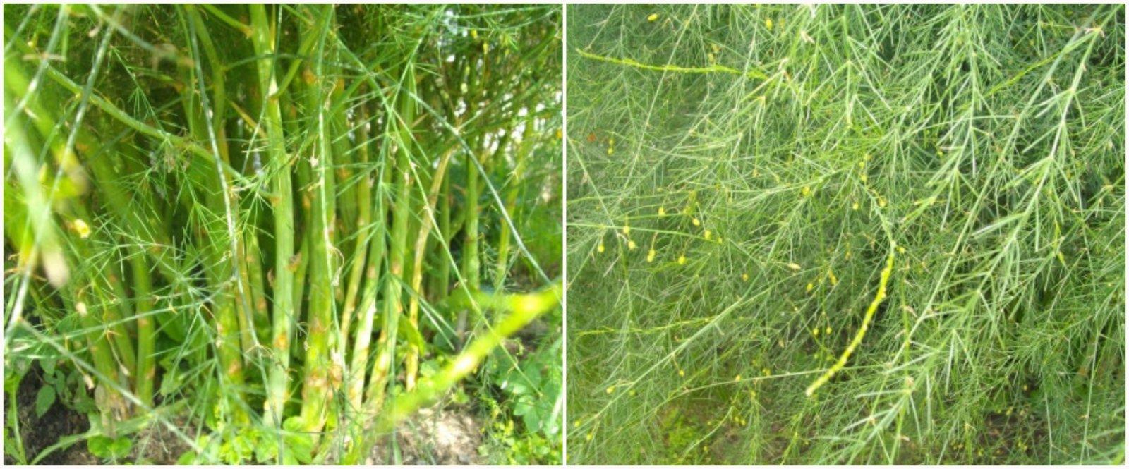 Аспарагус перистый - секреты цветоводов по уходу в домашних условиях