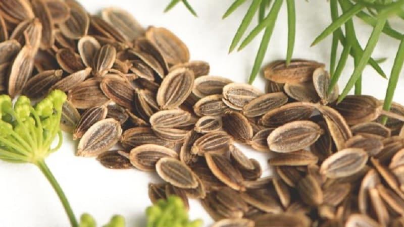 Лечебные свойства и противопоказания сушеного и свежего укропа, его использование в народной медицине