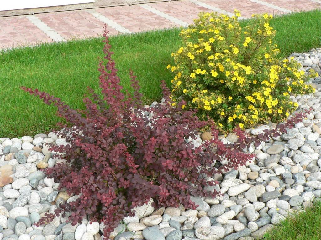 Низкорослые бордюрные многолетние растения (24 фото): кустарники для бордюра и цветы-многолетники, цветущие все лето, травs и зимостойкие растения