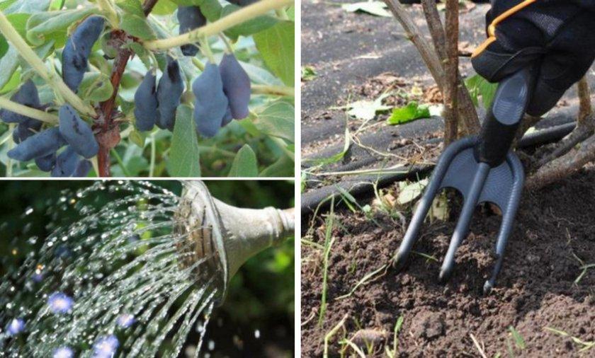 Жимолость, подкормка и уход | во саду и в огороде