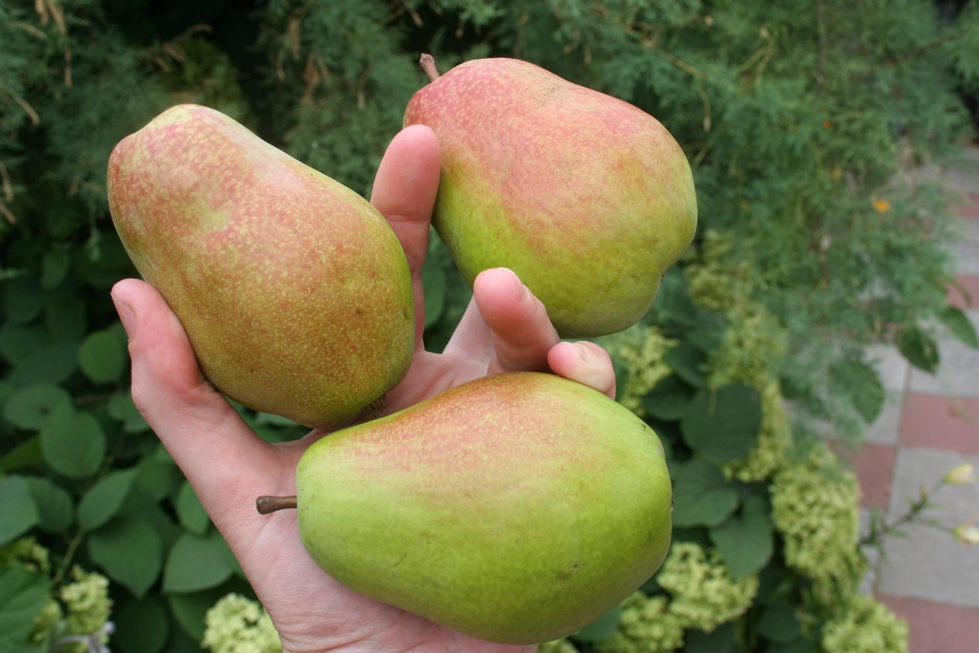 Груша феерия: описание и характеристика сорта, условия выращивания и уход