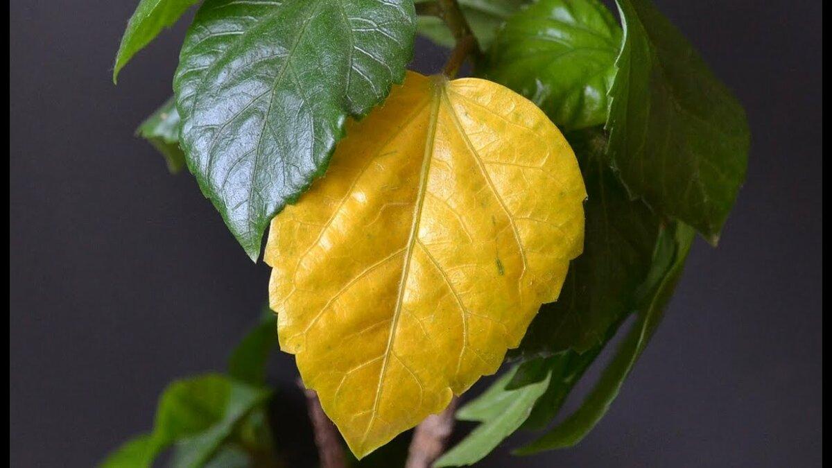 Опадают листья у комнатного мандарина: причины и лечение