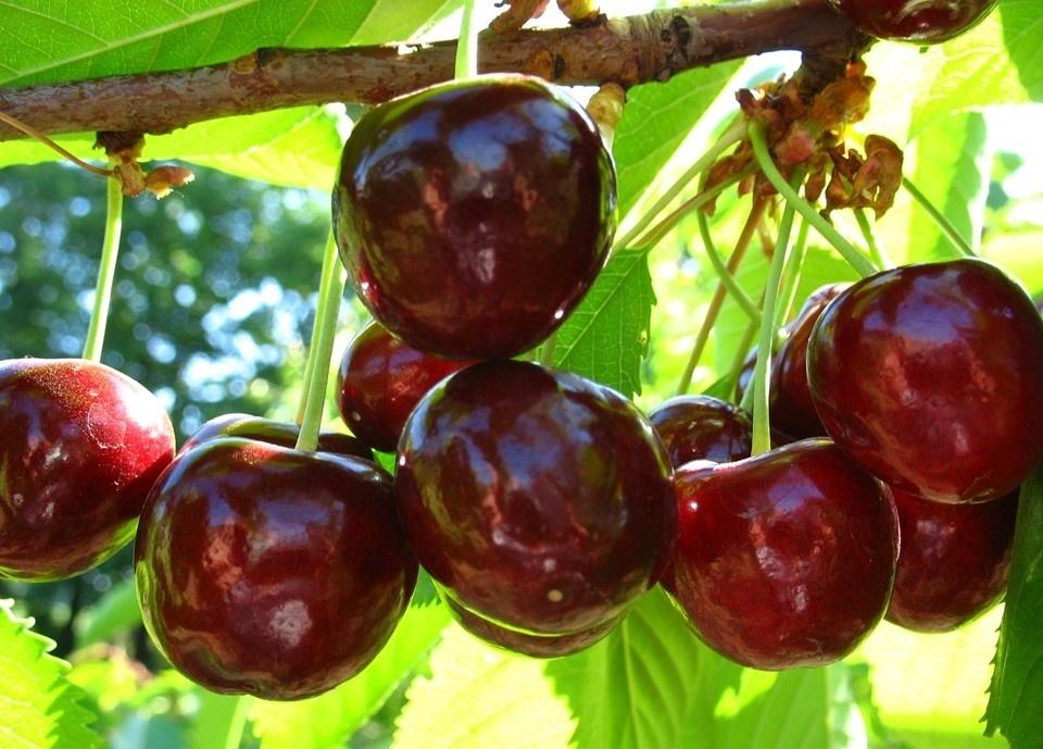 Сорт черешни крупноплодная: описание с фото и отзывы