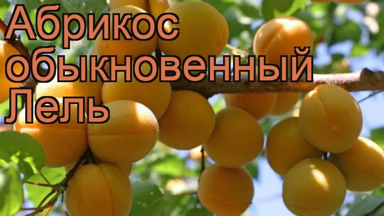 Описание сорта абрикосов лель и уход за деревьями