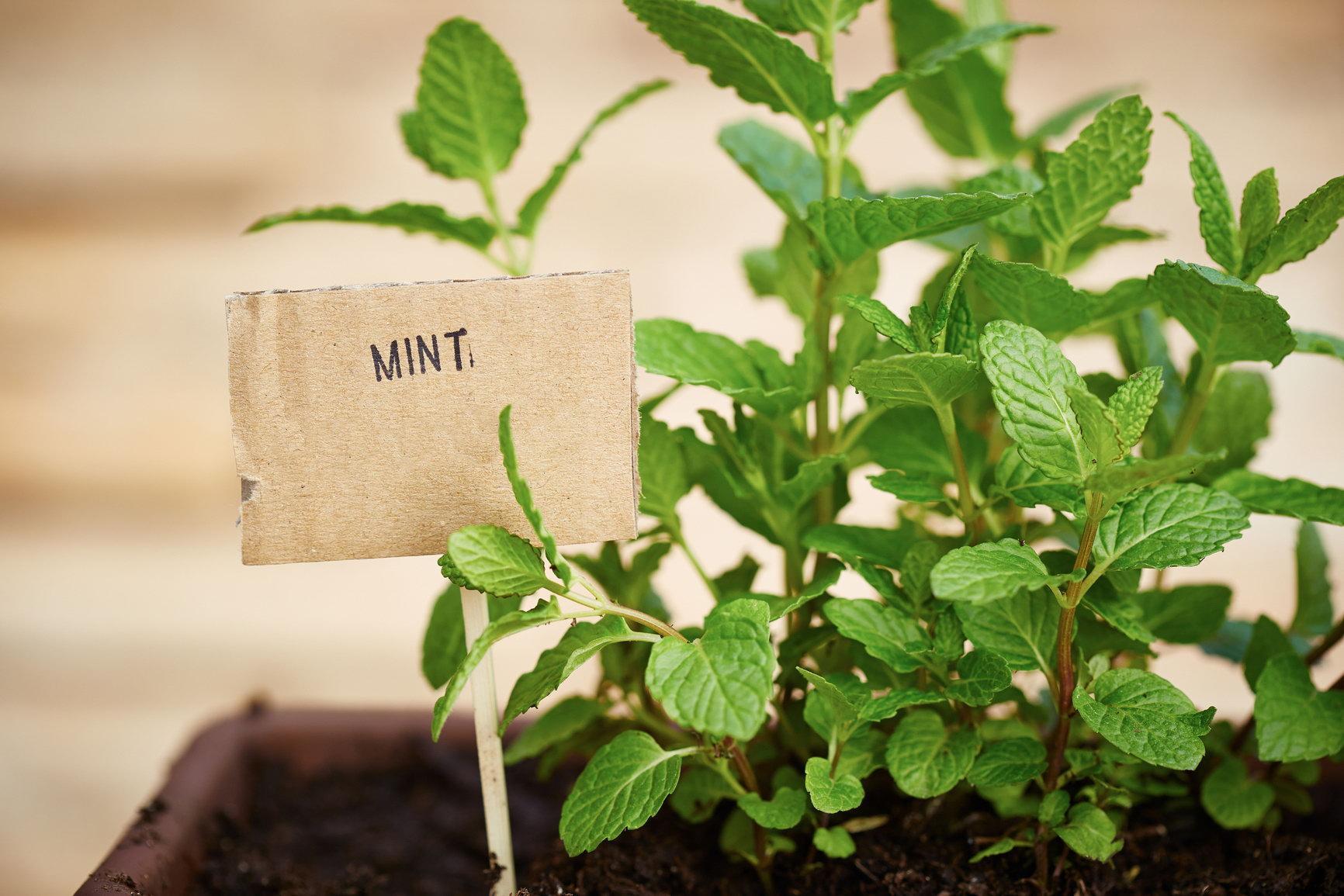 Как правильно размножать мяту семенами и корневыми отводками - всё про сады