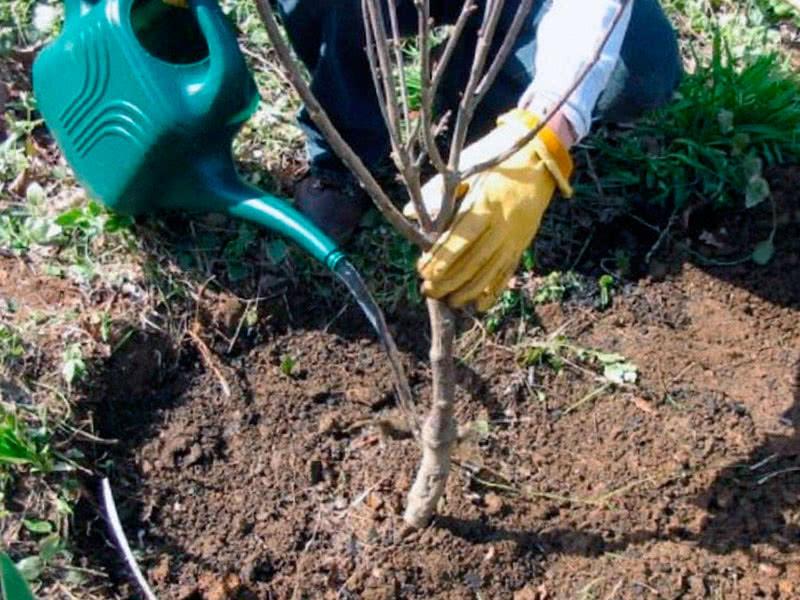 Правильная посадка вишни, уход и обрезка саженцев по схеме