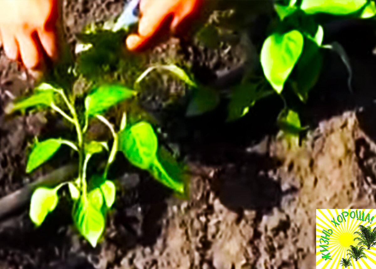 Посадка перца в открытый грунт - пошаговая инструкция для новичков