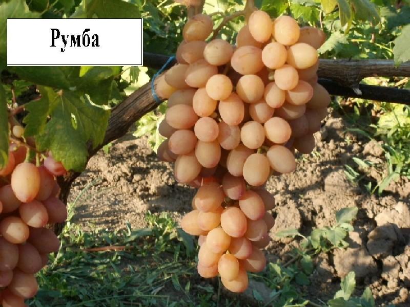 Виноград румба: описание сорта