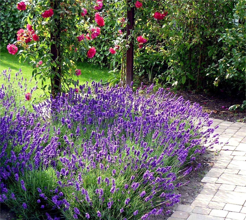 10 идей, как использовать лаванду в дизайне сада