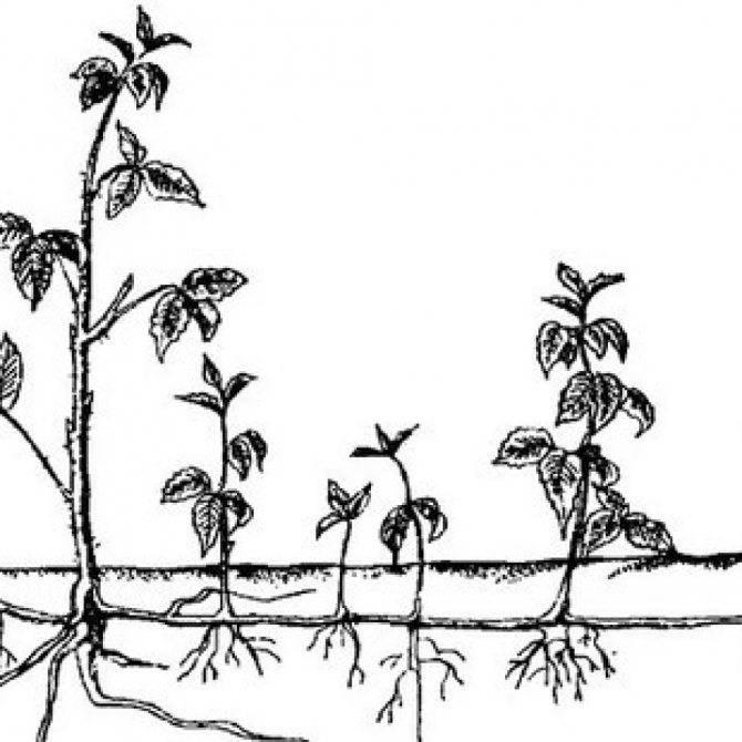 Ежевика: уход и выращивание, размножение и обрезка - sadovnikam.ru