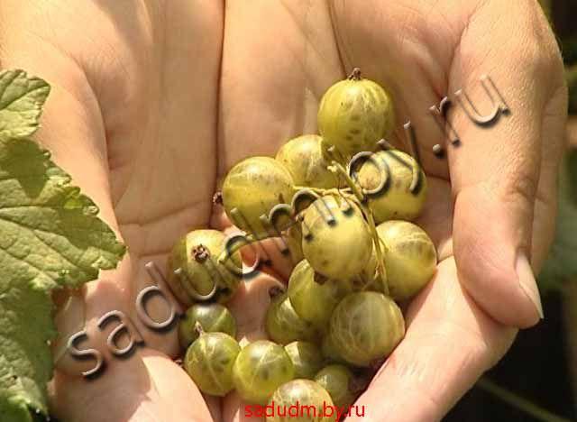 Смородина изумрудное ожерелье - ogorodguru