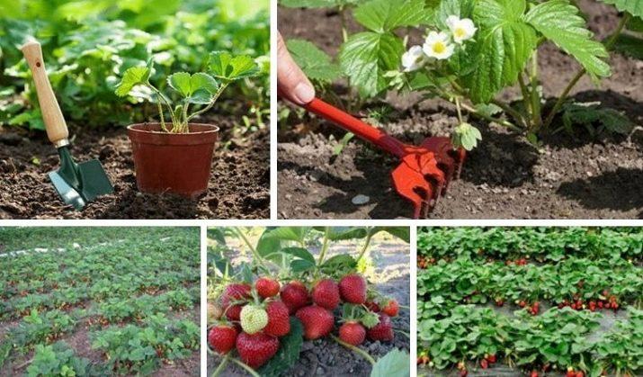 Когда и как рассадить клубнику? выращивание и размножение клубники