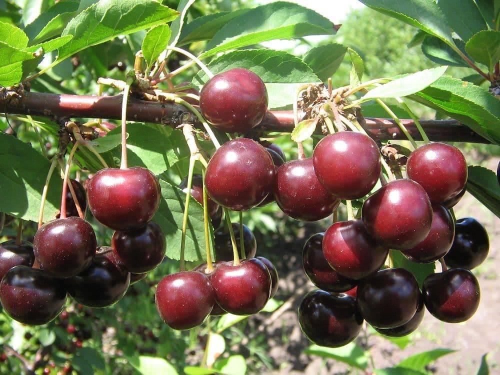Все о посадке и выращивании черешни – от выбора саженца, до сбора урожая (фото & видео) +отзывы