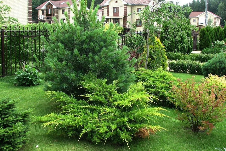 Хвойные деревья: названия пород с фото и описанием