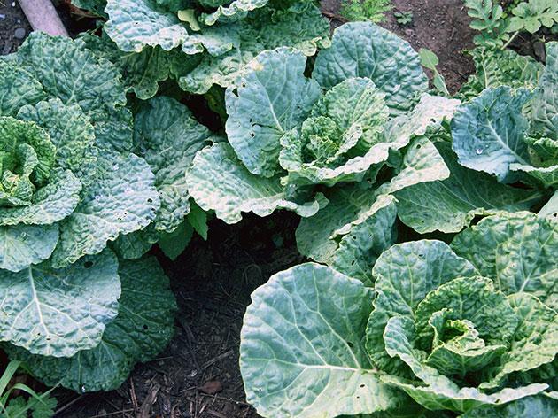 Савойская капуста: фото и выращивание в открытом грунте